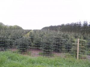 En av alla vidsträckta Julgransplanteringar norr om Solbjerg
